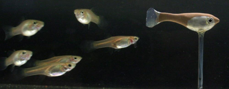 Robotic Fish Helps Expose Collective Patterns of Animal Groups