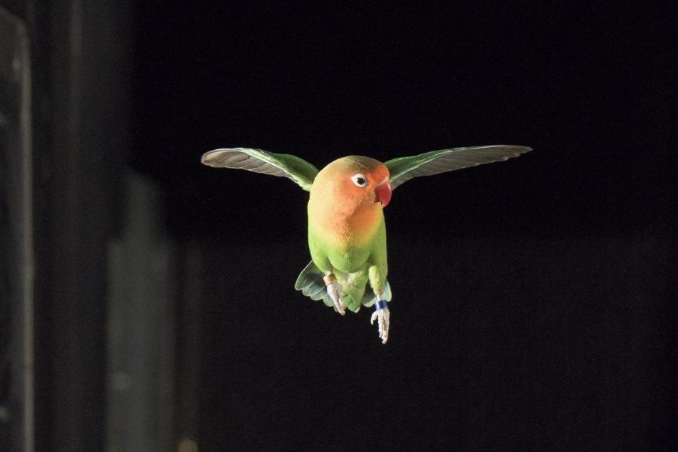 Study on Lovebirds' Maneuverability Could Lead to Better Autonomous Aerial Robots