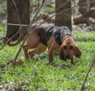Robot Bloodhound Rapidly Detects Odors on Ground