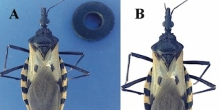 Machine Learning Helps Identify Insects that Spread Chagas Disease