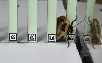 New Robot Mimics Cockroach Behavior to Traverse Through Obstacles